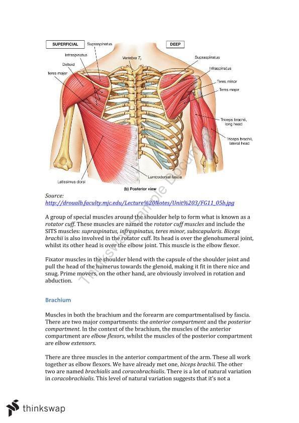 Upper Limb Muscles Notes Biom20001 Molecular And Cellular